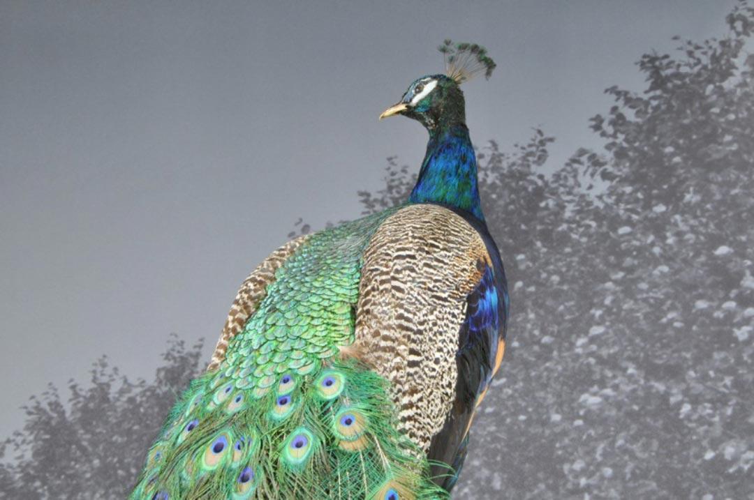 Die Federn der Schleppe des Blauen Pfaus können gut 1,5 Meter lang werden. Einige Verwandte aus der Familie der Fasanenvögel bringen es auf ähnliche Längen, den Rekord hält der Perlenpfau mit 1,75 Metern. (Foto: Museum Wiesbaden/Bernd Fickert)