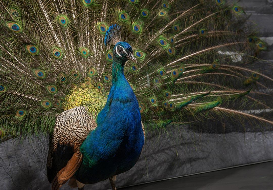 """Der Rad schlagende Blaue Pfau (Pavo cristatus) ist mit einem weiteren Männchen und einem Weibchen im Themenraum """"Farbe"""" der Dauerausstellung der Naturhistorischen Sammlung zu bewundern. (Foto: Museum Wiesbaden/Bernd Fickert)"""