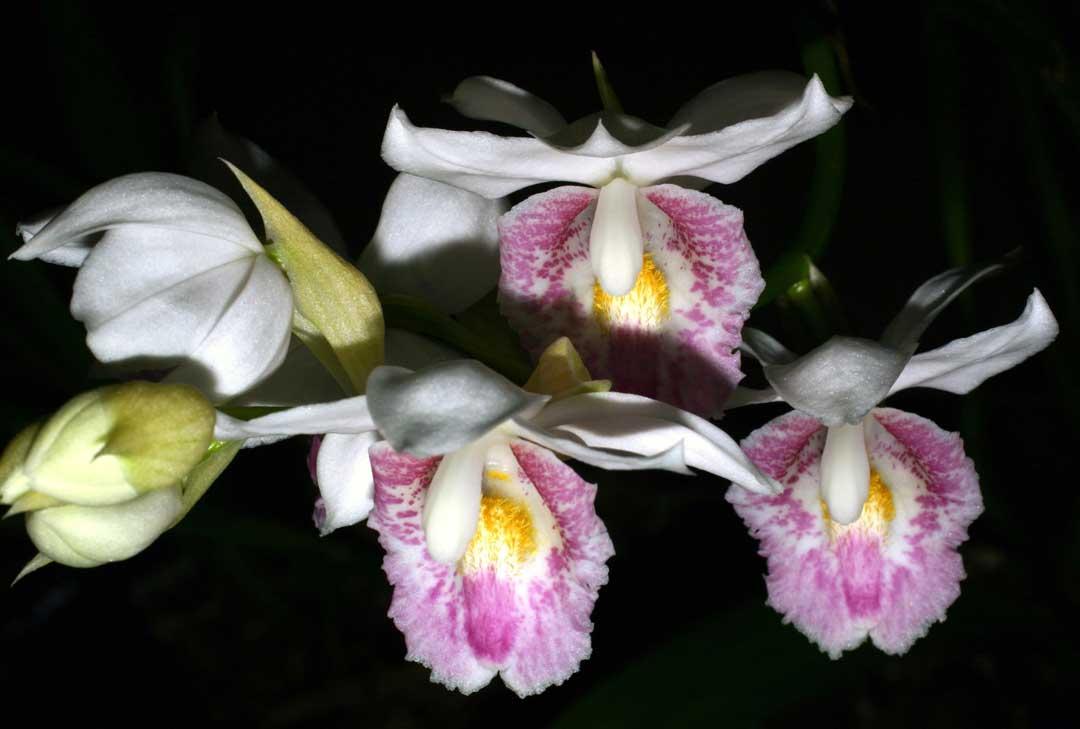 """Eine Orchidee von Madagaskar, Phaius pulchra, die im Englischen den Namen """"nun's cap"""" (Nonnenhaube) trägt. (Foto: Ralph Mangelsdorff)"""