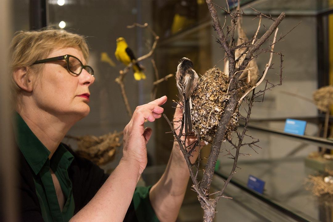 Kuratorin Susanne Kridlo mit einem Nest der Schwanzmeise. Das Nest ist gut getarnt durch Flechten und Moose und sicher im Baum verankert: ein rundum geschlossener ovaler Bau mit einem Einflugloch. (Foto: Bernd Fickert/Museum Wiesbaden)