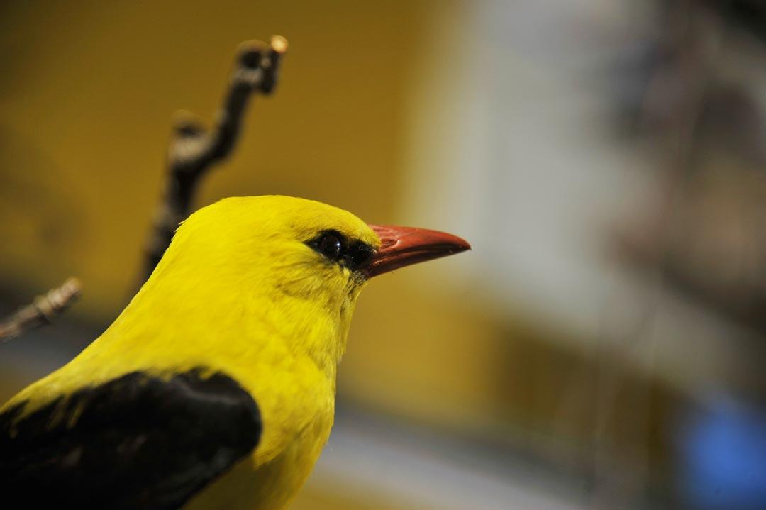 Der Pirol (Oriolus oriolus), Singvogel aus der Familie der Pirole – eines der wenigen Vogelpräparate in der Vitrine (Foto: Museum Wiesbaden)