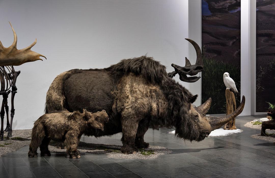 """Wollnashorn mit Jungem, lebensechte Rekonstruktion aus der Ausstellung """"Eiszeit-Safari"""", im Hintergrund rechts: Schnee-Eule (Foto: Bernd Fickert/Museum Wiesbaden)"""