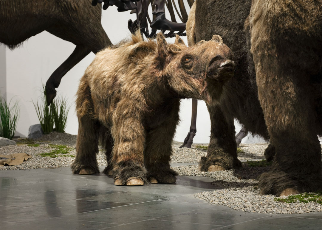 "Wollnashorn-Junges, lebensechte Rekonstruktion aus der Ausstellung ""Eiszeit-Safari"" (Foto: Bernd Fickert/Museum Wiesbaden)"