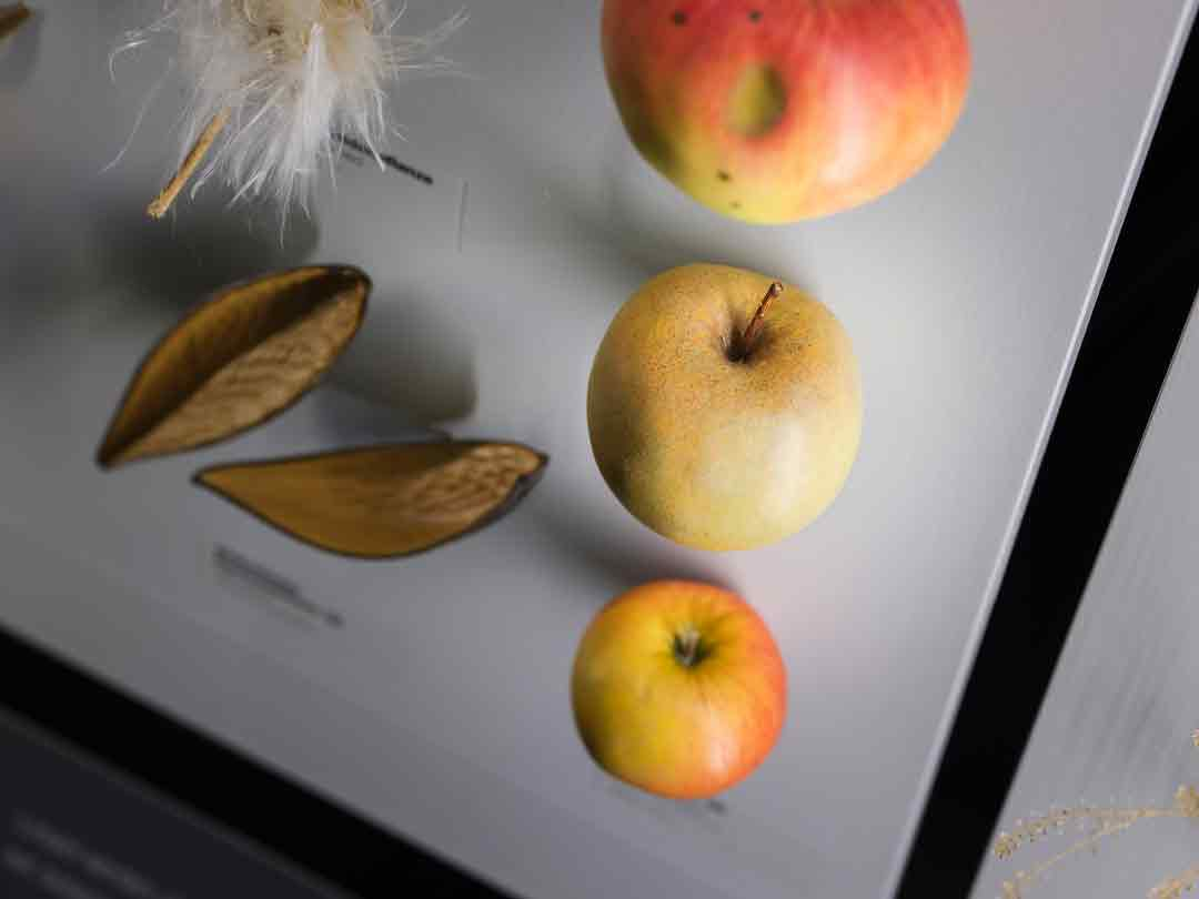 Blick in die Vitrine zu Samen und Früchten im Saal der Formenvielfalt, Sorten von oben nach unten: Jakob Fischer, Boskoop, Cox Orange (Foto: Bernd Fickert/Museum Wiesbaden)